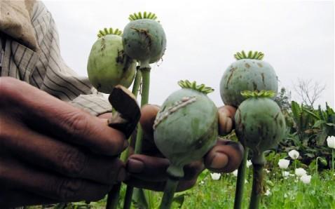 opium cut